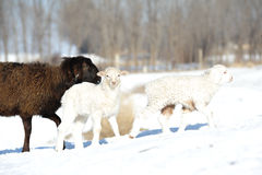 Two white little lambs with one adult stock images