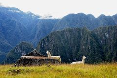 Two white llamas on Peruvian hillside. Two white llamas on a Peruvian hillside near Machu Picchu with steep, dark green, misty and forested mountains in the Royalty Free Stock Image