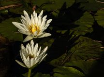 Two white lotus blossoms rising up out of pond of lily pads, calm serene background, meditation wellness harmony spirituality and. Two white lotus blossoms stock image