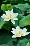 Two white lotus flower. And golden yellow pistil, shown as twins or couple Stock Photography