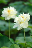 Two white Lotus flower. White Lotus flower with green leaves Royalty Free Stock Photo