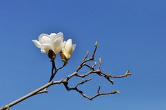 Two white Magnolias. Up in the blue sky Royalty Free Stock Image