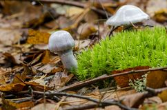 Two white mushrooms grow in wood near green moss Stock Image
