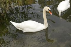 Two white mute swan swims in the lake water. Stock Photos