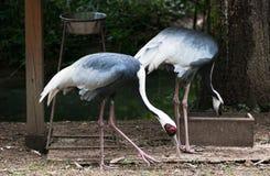 Two White-naped Cranes (Grus vipio) Stock Photo