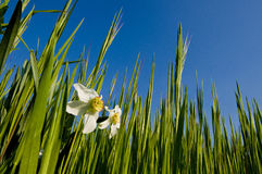 Two White Narcissus in a Green Field Royalty Free Stock Images