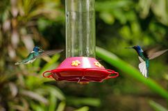 Two hummingbirds approaching a feeder, Tobago Stock Images