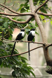 Two White Necked Mynas Stock Image