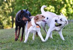 Two white and one black dog playing ball Royalty Free Stock Images