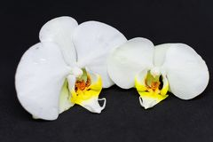 Two white orchid blossoms on black background royalty free stock image