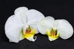 Two white orchid blossoms on black background stock image