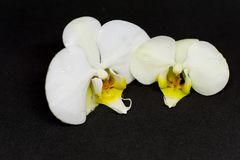 Two white orchid blossoms on black background stock photography