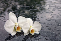 Two white orchid flowers . Royalty Free Stock Photography