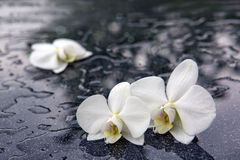 Two white orchid flowers . Stock Photos