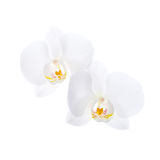 Two white orchid flowers isolated on white Stock Photography