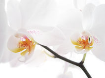 Two white orchids Stock Images