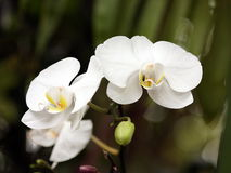 Two White Orchids. Close-up of two white orchids and bud on a dark green background stock image