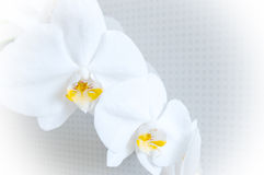 Two white orchids. Close-up of white orchids on light background. white spring orchid flower Royalty Free Stock Photos