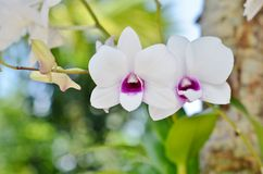 Two white orchids with a purple center Stock Photo