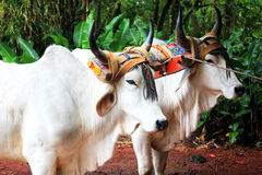 Two white ox Royalty Free Stock Photography