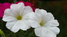 Two white pansy flower stock images