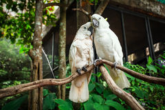 Two white parrot bird mating on branch wood. Royalty Free Stock Images
