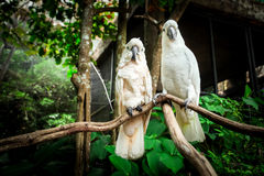 Two white parrot bird mating on branch wood. Royalty Free Stock Photography