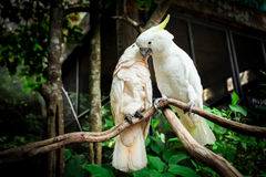 Two white parrot bird mating on branch wood. Royalty Free Stock Photos