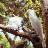 Two White Parrot Bird Mating on Wood Stock Photo