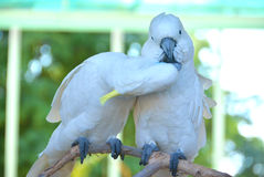 Two white parrot kissing on a tree branch. A two white parrots kissing on a tree branch royalty free stock image