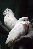 Two white parrots Royalty Free Stock Photo