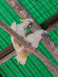 Two white parrots -  white cockatoo - Cacatua galerita - sit on Royalty Free Stock Image