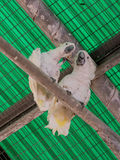 Two white parrots -  white cockatoo - Cacatua galerita - sit on Royalty Free Stock Photography