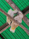 Two white parrots -  white cockatoo - Cacatua galerita - sit on Royalty Free Stock Photo