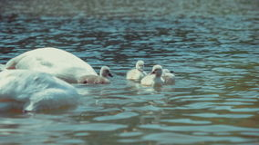 Two white patents swan swims and feeding kids. Reflecting waved water around stock video footage