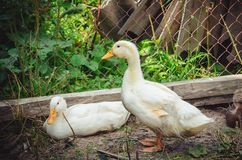 Two white Peking ducks in a poultry farm in summer day stock photos