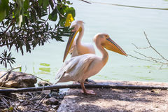 Two white pelican standing in shade on shore of lake. Two white pelican standing in the shade of a tree on the shore of the lake Stock Photography