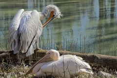 Two white pelican on the waterfront on a sunny day Royalty Free Stock Photo