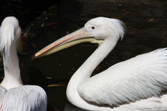 Two white pelicans Royalty Free Stock Photography