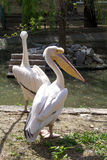 Two white pelicans with big beak at water. On background Royalty Free Stock Photos
