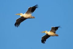 Two White Pelicans in flight Stock Photos