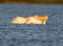 Two white pelicans lie on the water stock photos