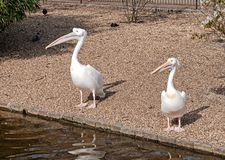 Two white pelicans in the park Stock Photos