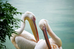 Two White Pelicans Stock Images