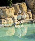 Two White Pelicans Stock Photography
