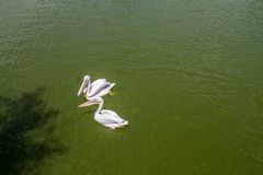 Two white pelicans swimming. On a sunny day royalty free stock photo