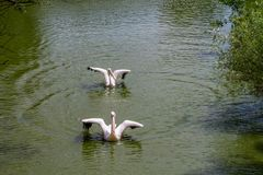 Two white pelicans swimming. On a sunny day royalty free stock photos
