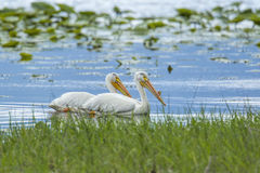 Two white pelicans swimming. Royalty Free Stock Image