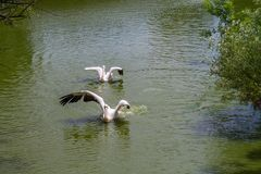 Two white pelicans swimming. On a sunny day stock image