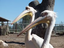 Two white pelicans. Heads at zoo stock photography